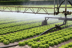 automatic irrigation system of a lettuce field in summer Royalty Free Stock Photos