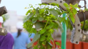 Automatic leaf pruning, Automatic trimming of plants before selling, conveyor in a greenhouse, automated line in a stock footage