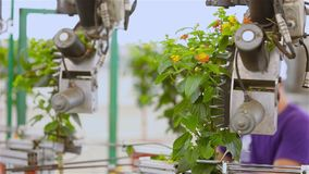 Automatic leaf pruning, Automatic trimming of plants before selling, conveyor in a greenhouse, automated line in a. Automatic pruning of flowers, Automatic stock footage