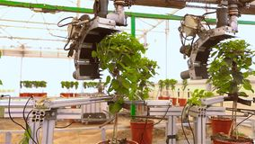 Automatic leaf pruning, Automatic trimming of plants before selling, conveyor in a greenhouse, automated line in a stock video footage