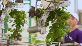 Automatic leaf pruning, Automatic trimming of plants before selling, conveyor in a greenhouse, automated line in a. Automatic pruning of flowers, Automatic stock video footage