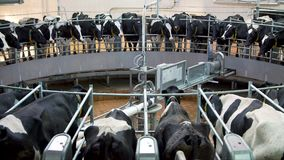 Automatic milking carousel system at the dairy farm
