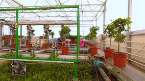 Automatic pruning of flowers, Automatic pruning of plants, conveyor in a greenhouse, automated line in a modern. Greenhouse stock video