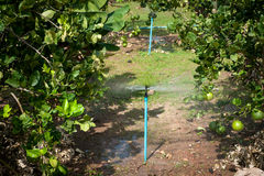 Automatic sprinkler irrigation system watering in the Lemons far Stock Photos