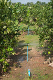 Automatic sprinkler irrigation system watering in the Lemons far Royalty Free Stock Images