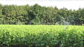 Automatic watering for crop fields okra. stock video footage
