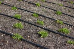 Automatisch installatie het water geven systeem geschikte installatiezorg op een groot gebied jonge greens verschenen van onder d royalty-vrije stock afbeeldingen