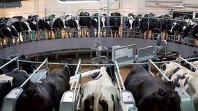 Automatisch melkend carrouselsysteem bij de melkveehouderij stock videobeelden