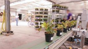 Automatiserad process av att klibba barcodes till krukor av blommor i ett modernt växthus Klibba stångkoder på krukor med stock video