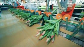 Automatisierte Maschinenbindungsbündel Tulpen mit Schnüren in einem Glashaus stock video footage