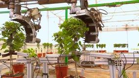 Automatiskt beskära av blommor, automatiskt beskära av växter, transportör i ett växthus, automatiserad linje i ett modernt arkivfilmer
