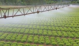 Automatiskt bevattningsystem av ett grönsallatfält i sommar arkivbilder