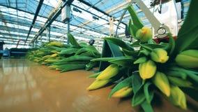 Automatyzować konwejer poruszające wiązki z żółtymi tulipanami w nowożytnym glasshouse zbiory wideo