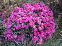 Automn blommor Fotografering för Bildbyråer