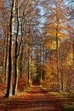Automn colors in the Sonian Forest. The Sonian Forest or Sonian Wood is a 4,421-hectare 10,920-acre forest at the southeast edge of Brussels, Belgium. It is stock photography