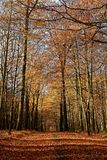 Automn colors in the Sonian Forest. The Sonian Forest or Sonian Wood is a 4,421-hectare 10,920-acre forest at the southeast edge of Brussels, Belgium. It is royalty free stock photography