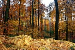 Automn colors in the Sonian Forest. The Sonian Forest or Sonian Wood is a 4,421-hectare 10,920-acre forest at the southeast edge of Brussels, Belgium. It is royalty free stock images
