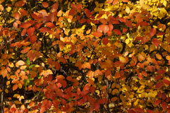 The automn leaves. Red, orange and gold automn leaves Stock Images