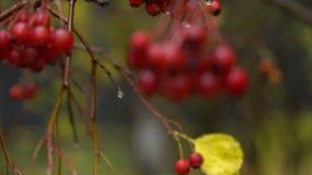 Automne ashberry avec des gouttes de l'eau banque de vidéos