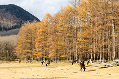 Automne au Japon, forêt jaune Photos stock