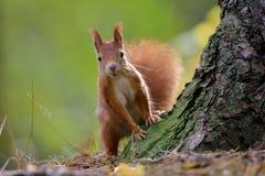 Automne d'écureuil Photo libre de droits
