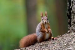 Automne d'écureuil Photographie stock libre de droits