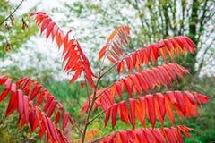 Automne d'Autumn Red Sumac Tree In Images libres de droits
