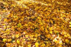 Automne d'or Feuilles d'érable d'automne Photos libres de droits