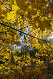 Automne d'or Feuilles d'érable d'automne Photo stock
