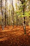 Automne dans la forêt de bois dur Images stock