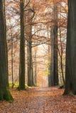 Automne dans la forêt de hêtre Photos libres de droits