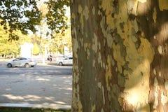 Automne dans la texture de ville de l'écorce de l'arbre photographie stock libre de droits