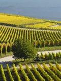 Automne dans les vignobles à la rivière le Rhin près du desheim de ¼ de RÃ Image libre de droits