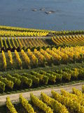 Automne dans les vignobles à la rivière le Rhin près du desheim de ¼ de RÃ Photos stock