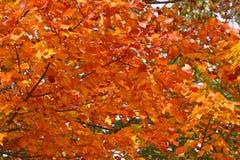 automne de couleur de flamme Images libres de droits
