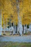 automne de tremble photos stock