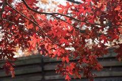 Automne de véritables couleurs - l'érable rouge part contre le ciel bleu Images stock