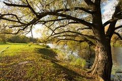 Automne de Willow At Sunset Of Sun d'arbre photos libres de droits