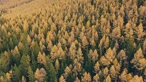 Automne en montagnes, arbres avec les dessus jaunis, forêt conifére épaisse banque de vidéos