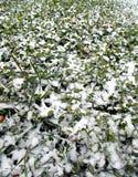 Automne en retard Première neige La clairière avec le trèfle vert d'oxalidex petite oseille a arrosé avec la neige blanche pure f images stock