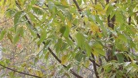 Automne et les premières chutes de neige sur les feuilles sur l'arbre banque de vidéos