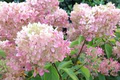 Automne lumineux des feux de la rampe d'hortensia de fleurs Photographie stock