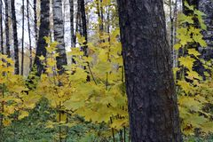 Automne, nature, ciel nuageux de forêt d'automne Lames d'automne d'or Images libres de droits