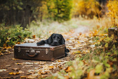 Automne noir de Labrador en nature, vintage Image libre de droits
