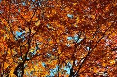Automne orange de feuille rouge, arbres oranges et solaires la branche, feuille d'érable, Primorsky Krai Photographie stock libre de droits