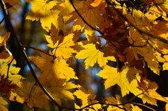 Automne orange de feuille rouge, arbres oranges et solaires la branche, feuille d'érable, Primorsky Krai Photo libre de droits