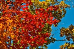 Automne orange de feuille rouge, arbres oranges et solaires la branche, feuille d'érable, Primorsky Krai Image stock