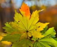 Automne orange de feuille rouge, arbres oranges et solaires la branche, feuille d'érable, Primorsky Krai Photos libres de droits