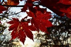 Automne orange de feuille rouge, arbres oranges et solaires la branche, feuille d'érable, Primorsky Krai Photographie stock