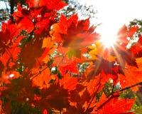 Automne orange de feuille rouge, arbres oranges et solaires la branche, feuille d'érable, Primorsky Krai Images stock